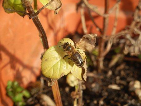 Honeybee, Bees, Honey, Insect, Honeycomb, Beekeeping