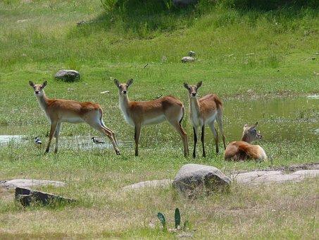 Lechwes, Antelope, Africa, Marsh Antelopes, Wildlife