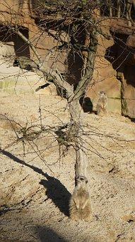 Meerkat, Animal, Sweet, Small, Cute