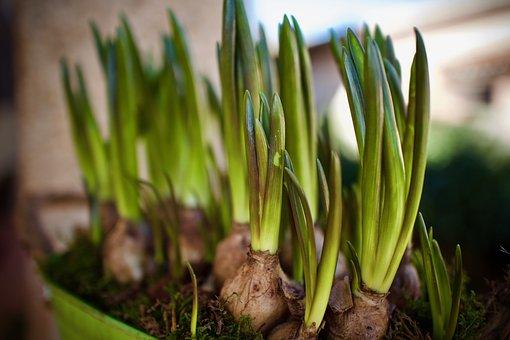 Plants, Bulbs, Muscari Blue, Nature, Flower, Spring