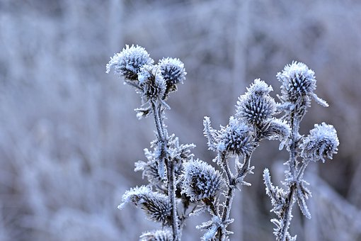 Nature, Winter, Hoarfrost, Thistle, Frost, Cold, Frozen