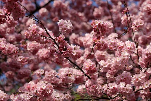 Spring, Flowers, Almond Blossom Pink, Tree, Nature