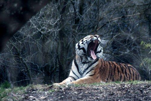 Tiger, Wild, Animal, Cat, Wildcat, Dangerous, Nature