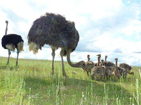 Ostriches, Bird Bouquet, Ostrich, Bouquet, Feather