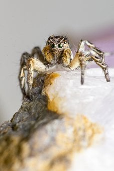 Zebra, Spider, Jumping, Insect, Macro, Portrait, Small