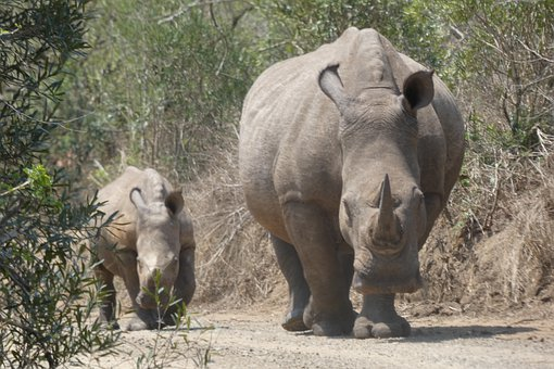 Rhino, Baby, Africa, Rhinoceros, Safari, Calf, Nature