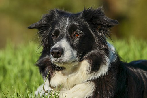 Border Collie, Shepherd Dog, Dog, Workingdog, Sheepdog