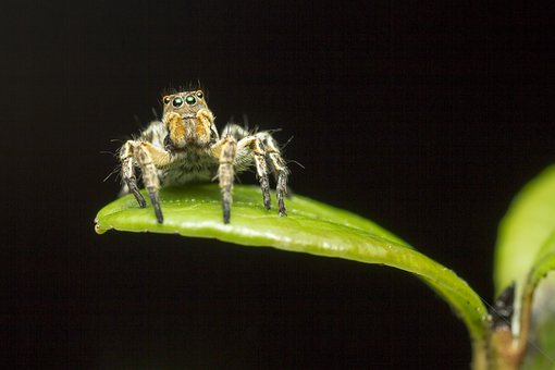 Zebra, Spider, Jumping, Insect, Macro