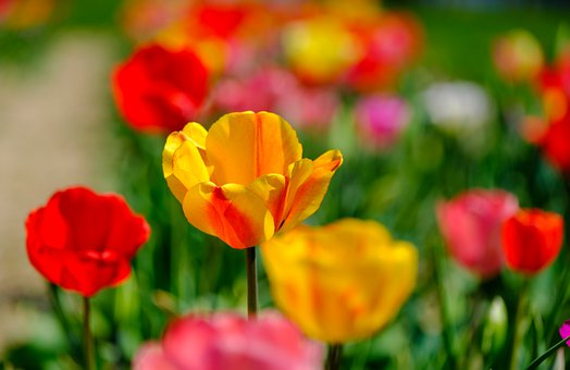Tulips, Spring, Flowers, Nature