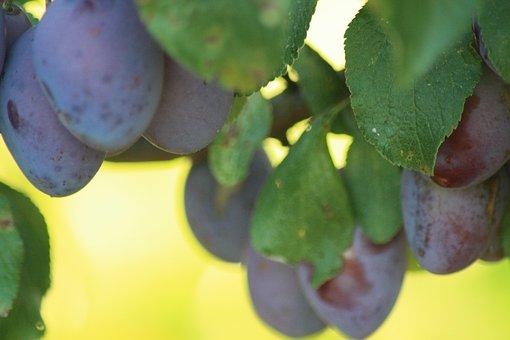 Plums, Summer, Evening, Fruits, Fruit, Garden, Food