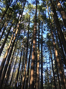Trees, Tall, Forest, Trunk, Pine
