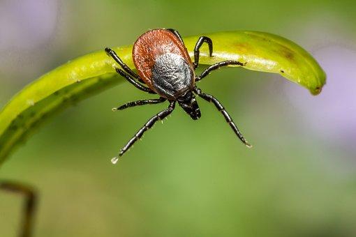 Ixodes Ricinus, Castor Bean Tick, Tick