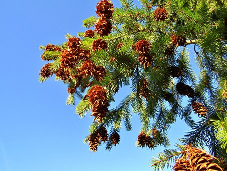 Pine Cones, Tap, Holly, Tree, Fir Green