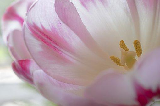 Tulip, Blossom, Bloom, Tulpenbluete, Stamens, Pollen