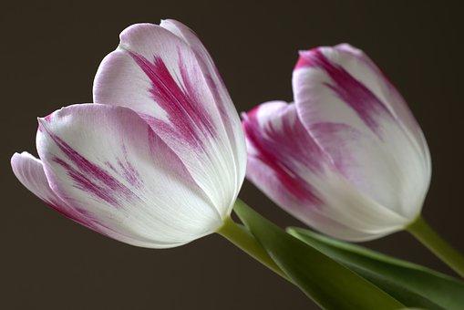 Tulips, Flowers, Tulpenbluete, Spring Flowers