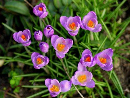 Crocus, Krokus, Violet, Spring Flowers, Spring, Saffron