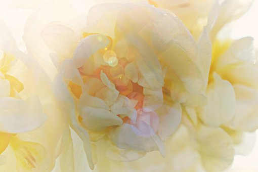 Daffodil, Blossom, Bloom, Macro, White, Yellow, Light