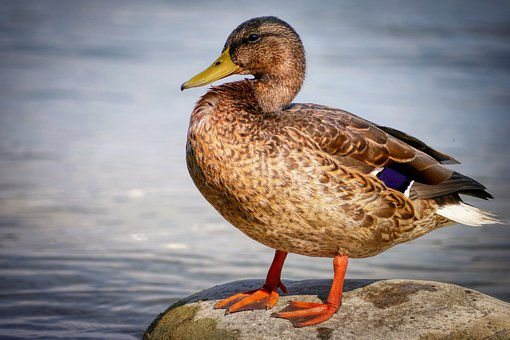 Duck, Feather, Wing, Animal, Nature