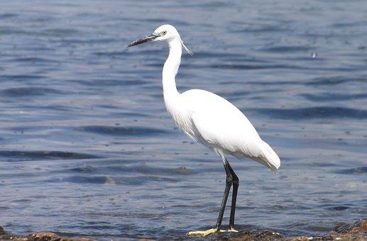 Bird, Ave, Bird Of Water, Nature, Pen