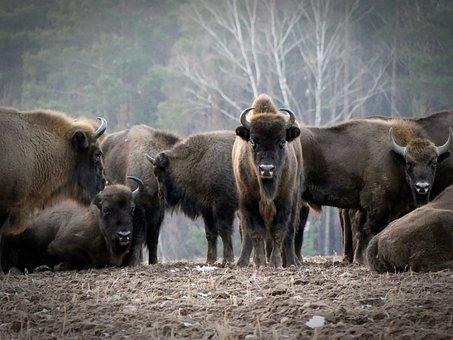 Bison, European Bison, Animals, Poland, Bison Bonasus