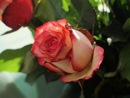 Rose, Love, Romantic, Flower, Blossom, Bloom, Wedding