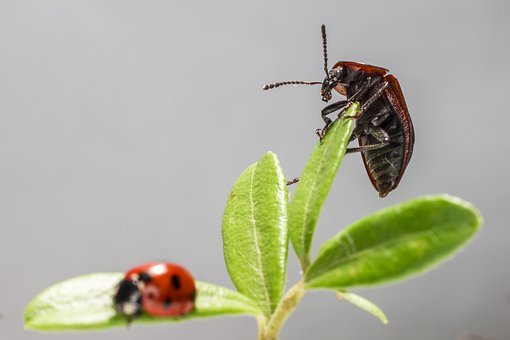 Coccinellidae, Macro, Closeup, Nature, Bug, Pest, Plant