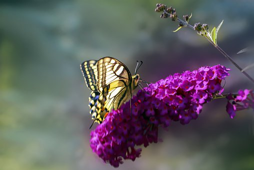 Butterfly, Butterflies, Swallowtail