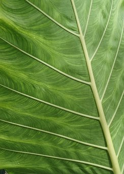 Close Up, Leaf, Asia, Plant, Background, Nature, Green