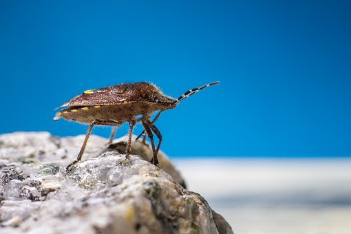 Dock Bug, Coreus Marginatus, Isolated