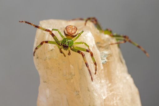 Green Crab Spider, Diaea Dorsata Backdrop, Isolated