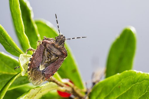 Dock Bug, Coreus Marginatus, Isolated, Backdrop, Gray