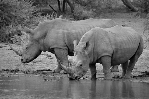 Rhinoceros, Black And White, Endangered, White Rhino