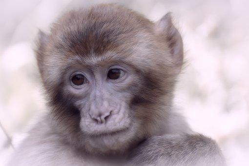 Barbary Ape, Endangered Species
