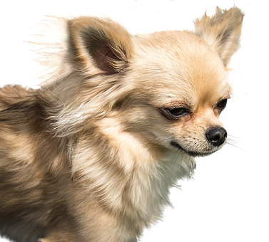Dog, Chihuahua, Exemption, Cute, Small, Pet, Animal