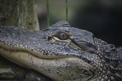 Crocodile, Eye, Head, Reptile, Alligator, Predator