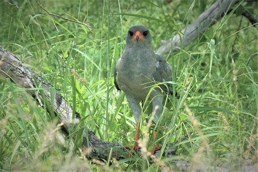 Lizard Buzzard, Eyes, Spotted, Bird, Watching, Safari