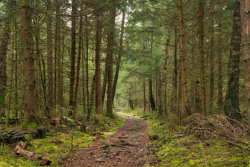 Forest, Forest Path, Path, Trees, Firs, Pine, Autumn