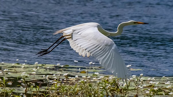 Egret, Flying, Waterfowl, Beautiful Wings, Graceful