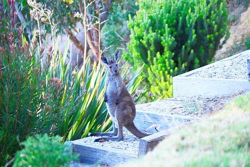 Kangaroo, Baby, Joey, Australia, Nature, Animals