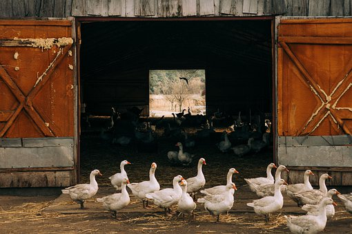 Goose, Geese, Bird, Birds, Family, Poultry, Kennel