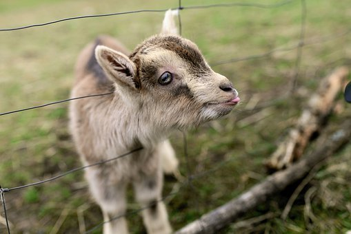 Goat, Young Goat, Young Animal, Small Animal, Kid