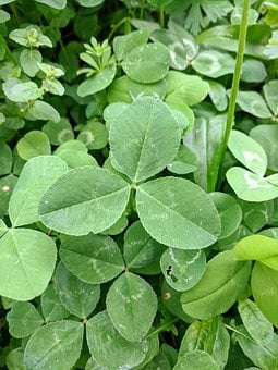Clover, Lucky, Ground Covering, Green Leaf, Three Leaf