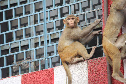 Monkey, Chimpanzee, Animal, Mamalia