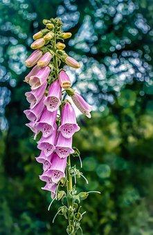 Foxglove, Digitalis, Wildflower, Medicine, Flower, Pink