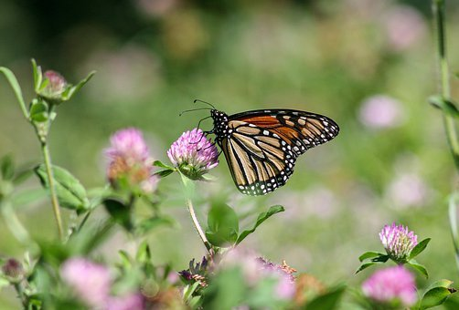 Butterfly, Monarch, Insect, Wings, Garden