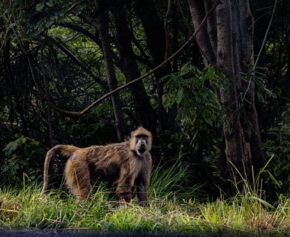 Baboon, Monkey, Ape, Wild, Safari