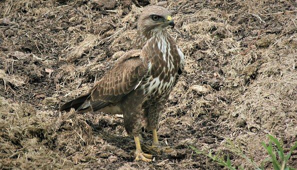 Steppe Buzzard, Standing, Sharp Beak, Nature, Bird