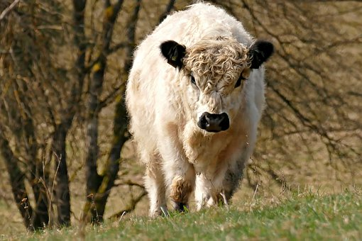 Galloway Cattle, Pasture, Agriculture