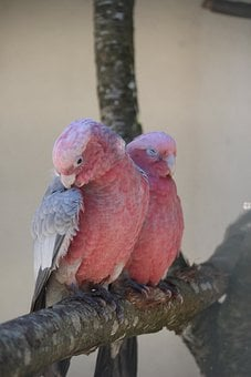 Birds, Pink, Couple, Pen, Two, Colorful
