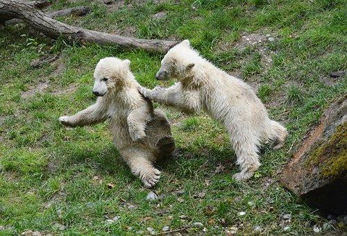 Polar Bears, Polar Bear Cubs, Polar Bear On Rock